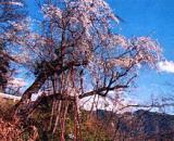 卒塔坂のひばり桜