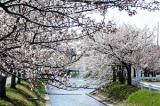 相ノ川桜並木
