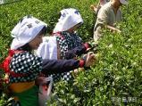 茶摘み体験交流会