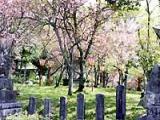 板列公園の桜