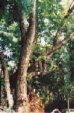 下来島のボダイ樹
