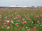 Ajisaka Poppy Festival★40216ba2212012635