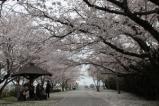 大貞公園桜